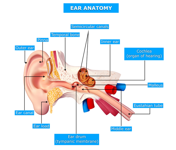 Opinion adult ear nose and throat have hit